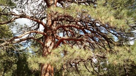 grandmother tree cc2015 Janice Sandeen